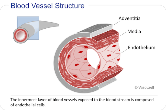 Blood vessel Structure